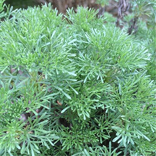 蚊よらずハーブ(アルテメシア サザンウッド)【ハーブ苗9cmポット/3個セット】オーストラリアでは蚊が嫌がる植物として有名です。細く青みがかったシルバーリーフを肌にこすりつけたり、切り口から出る樹液を使います。虫除けのハーブとして有名なワームウッドの1種です。栽培は容易で非常に強く、高温多湿にも耐え、耐寒性もあります。新鮮ハーブ苗、自社農場より直送!!【即出荷!】