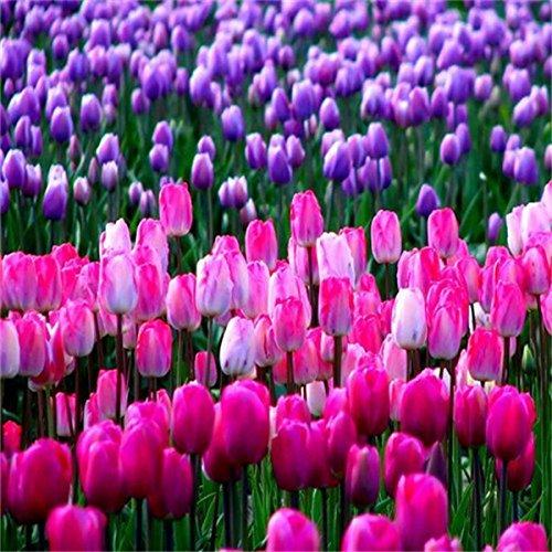 graines Grande vente Vente chaude 50pcs Tulip (couleur de mélange aléatoire) bonsaï graines de fleurs jardin à la maison DIY livraison gratuite