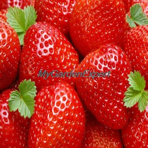 Vente chaude 50pcs Graines Big Red Strawberry Bonsai Balcon fruits Graines bricolage jardin