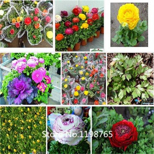 2016 Graines HOT 100PCS Ranunculus asiaticus fleur pour Maison & Jardin Plantes Bricolage Persian Buttercup Seed Flower Bulbs gratuit