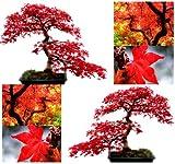 10 semillas de árbol de arce rojo – Acer rubrum – Excelente para bonsis japoneses – crece en pleno sol o sombra parcial – Zonas 5 – 9 – por MySeeds.Co, Modelo: , Home & Garden Store