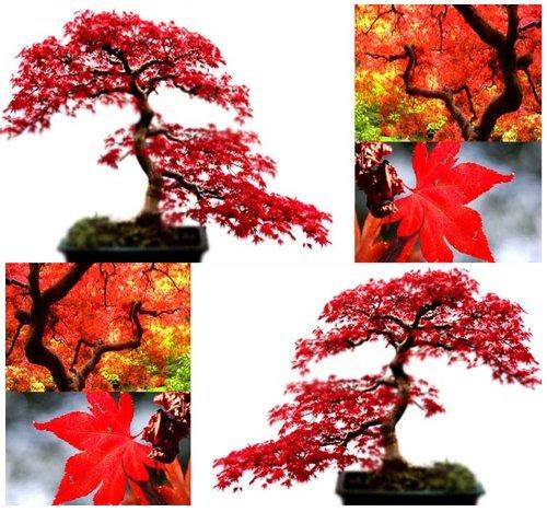 MySeeds.Co - 10 semi di acero rosso, eccellenti per il bonsai giapponese - Cresce in pieno sole o all'ombra parziale - Zone 5 - 9