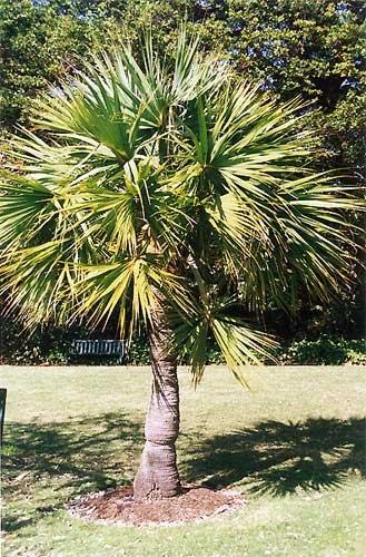 Sabal minor 10 x Samen -Zwergpalmetto- Palmensamen -