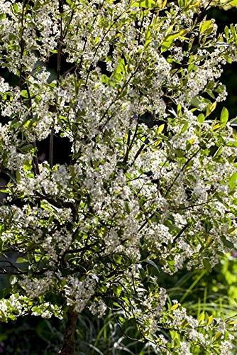 Aronia melanocarpa 'Aron' Apfelbeere Laubgehölz im Topf gewachsen ca. 30-40cm