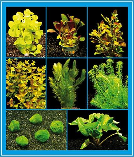 Zoomeister - Aquarienpflanzen-Set für EIN Kaltwasser- / Zimmer-Aquarium, 16-22°C bis 60L
