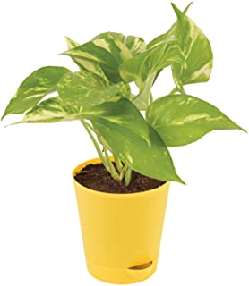 Ugaoo Good Luck Money Plant Variegated with Self Watering Pot