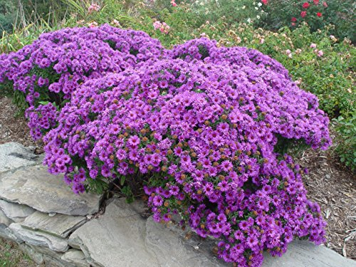 Aster novae-angliae 'Purple Dome' (New England Aster) Perennial, purple flowers, #2 - Size Container