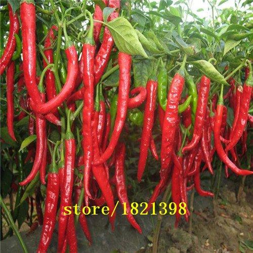 100pcs légumes Graines de poivre frais et Ganjiao rouge séché double