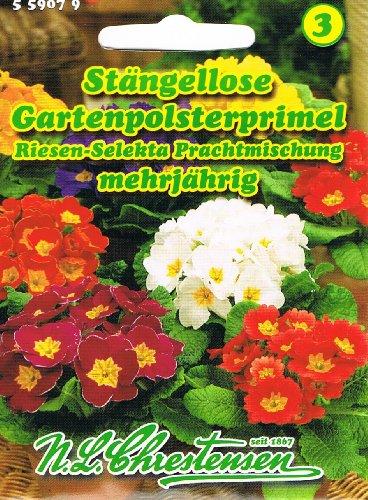 Stängellose Gartenpolsterprimel Riesen Selekta Prachtmischung Primel Primula acaulis