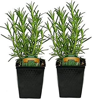 Stargazer Perennials Live Rosemary Plant - Set of 2 Hardy Rosemary Plants Grown Organic Non-GMO USA Great Container Herbs Shipped Potted