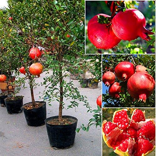 10 graines / paquet de graines de grenade très doux délicieux graines de fruits, plantes grasses Arbre bonsaï pour la maison et le jardin