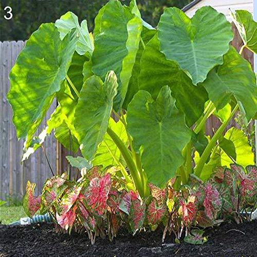 Semillas para siembra, 1 bolsa de semillas de alojasia productivas, viables, pequeñas y resistentes al frío, semillas de elefante para granja - 3 semillas de Alocasia