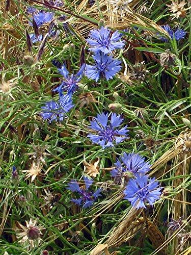 Wilde Kornblume, Zyane (Centaurea cyanus) 200 Samen Roggenblume, blaue Schneider