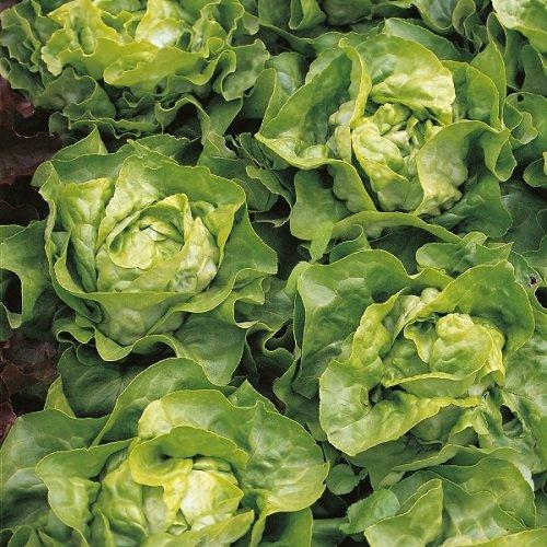 Salade - Suzan - 1200 Graines