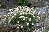 Spanisches Gänseblümchen 60 Samen, Blütenmeer,...