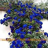 50 Semi/Pack, cinese raro Light Blue 'Lady di Charme' Semi fiore della Rosa, Arrampicata Pianta semi Fiore con forti frangrant!