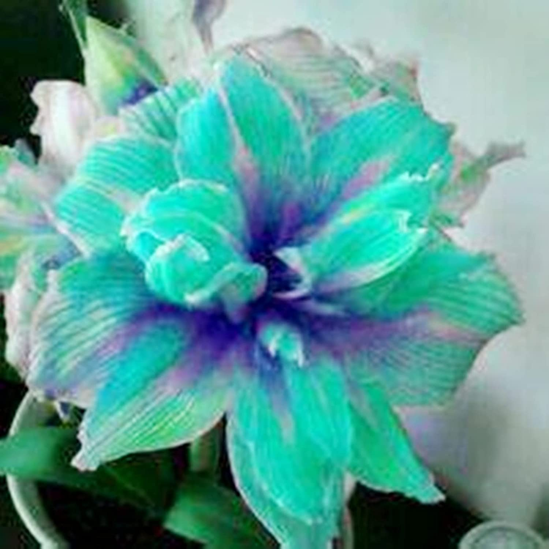 Surprise Gift Marvel at Enchanting Flowers service Exotic Amaryllis Free shipping / New Bulb