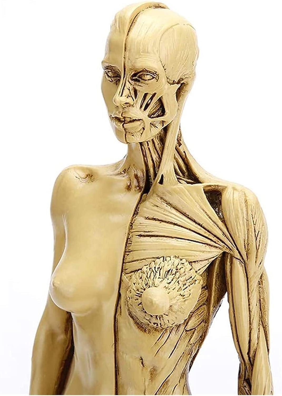 Ranking TOP1 Human Anatomical Female Anatomy Skull Bon Max 55% OFF Body Muscle Head Model