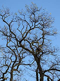 konar tree