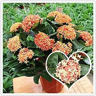 Hot Sale 100 Colorful Ixora Chinensis Bonsai Plant Flower Bonsai Perennial Bougainvillea Bonsai Beautiful Your Garden Potted