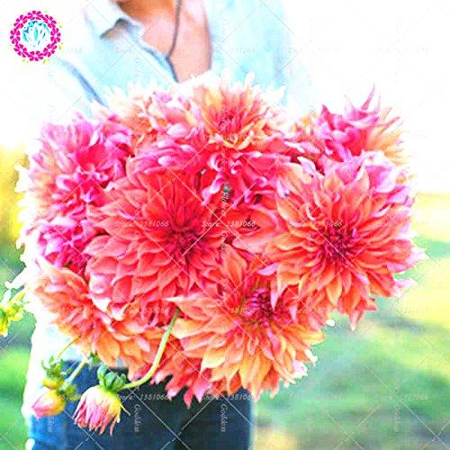 25pcs Dahlia pinnata Fleur Bonsai Graines Facile vivace Cultiver les plantes en fleurs pour la maison Balcon Jardin cour intérieure Out 1