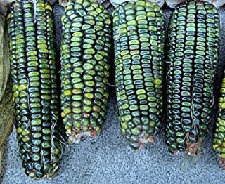 50+ Oaxacan Green Corn Seeds All Shades of Green Vegetable Garden Organic