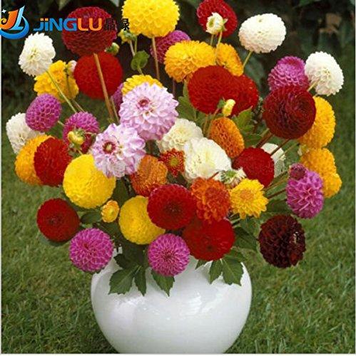100 graines Dahlia - Pompon ~ beaux jardins, magnifique fleur, mélanger la couleur, la maison jardin