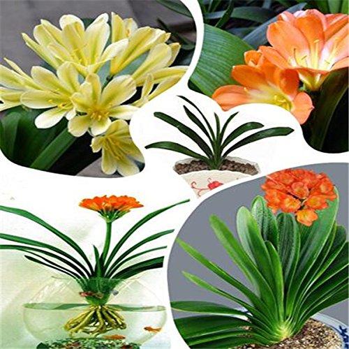 Clivia Flower Seeds bonsaï jardin de fleurs à la maison DIY livraison gratuite de vente Big vente chaude