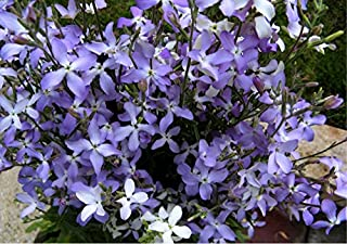 Night-Scented Stock 'Rose' (Matthiola Bicornis ) Flower Plant Seeds, Annual Lilac Heirloom