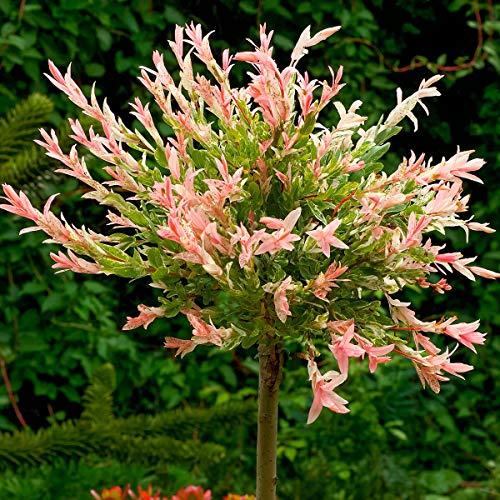 Qulista Samenhaus - Rarität 10pcs Harlekinweide Ziergehölz Bienenfreundlich rosa-weiß Blumensamen winterhart mehrjärhig