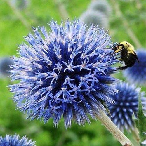 30 Samen Kugeldistel Blaue Blumensamen (Echinops Ritro)