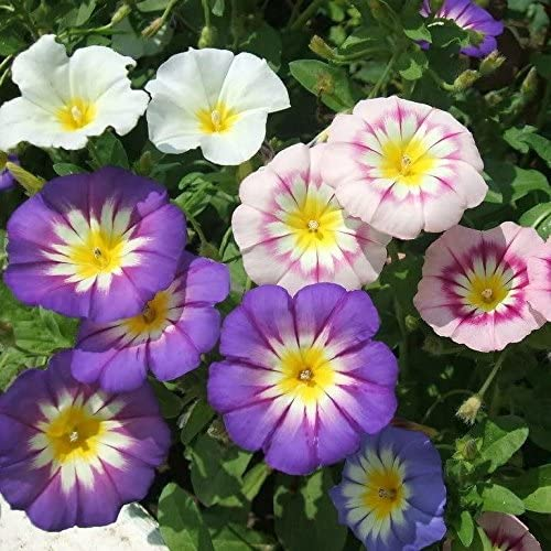 Tricolor Mixed Convolvulus High quality new Seeds - Max 76% OFF Rare SEED 40+ FROZEN in