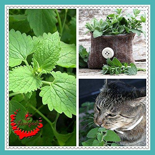 50 semillas Catnip Nepeta Cataria Hierbas del gato de la semilla del amor para Bonsai Inicio Jardín Planta D033