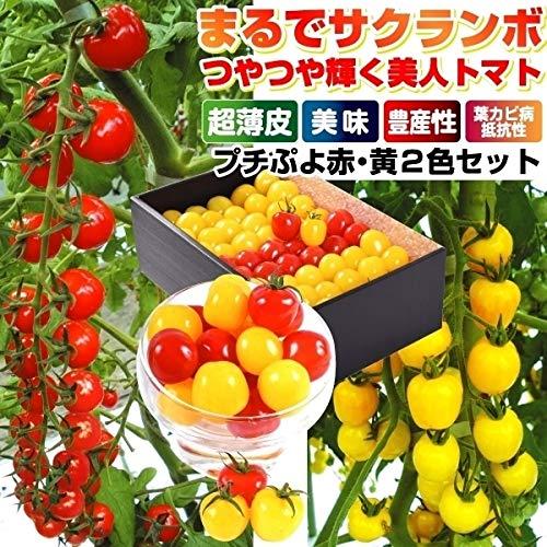 国華園 種 野菜たね トマト F1CFプチぷよ赤・黄セット 2種2袋(各10粒)/メール便配送 21年春商品