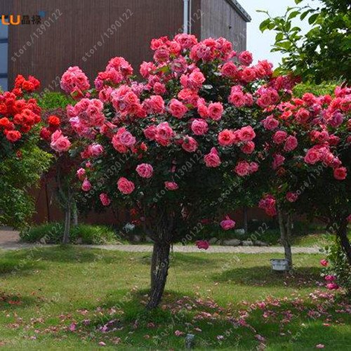 100pcs / bag Rosenbaum, rosafarbene Samen, Bonsai-Baum Blumensamen, Rosenbaum Pflanze Balkon & Yard für Hausgarten vergossen 4