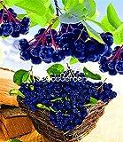 ¡Rebaja!10 Semillas Una Bolsa Anual de Frutas y Hortalizas Aronia Viking.Diy Home Garden & Amp; Semillas de Bonsai