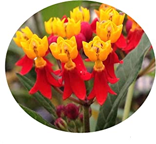 Milkweed RED Tropical Perennial Live Plant Butterfly Garden Attracts Butterflies Asclepias Starter Size 4 Inch Pot Emerald TM