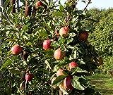 Fresh Braeburn Apples - Best Reviews Guide