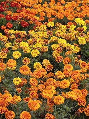 Keland Garten - Rarität Aufrechte Studentenblume Tagetes Sammetblume, Blumensamen Mischung winterhart mehrjährig für Rabatte, Pflanzgefäße und Beeteinfassungen