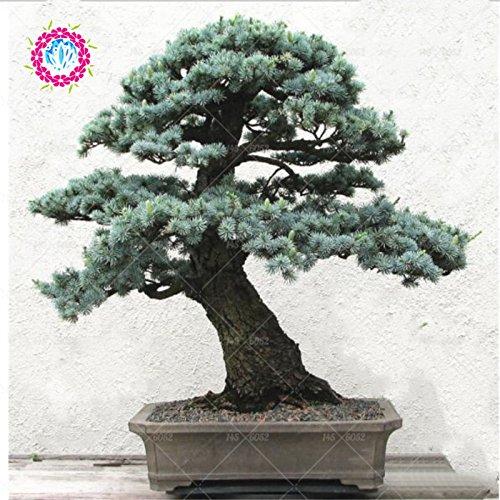 edrus deodara Samen Himalaya-Zeder Conifer Indoor Pflanze Bonsai-Baum-Samen Hellblau Deodara Cedar Samen 10pcs / bag 1
