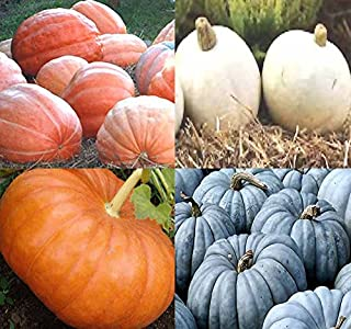 Big Pack (80-90+) Dill Atlantic Giant, Casper White, Cinderella Rouge VIF D'Etampes, Jarrahdale Blue Pumpkin Seeds - Non-G...
