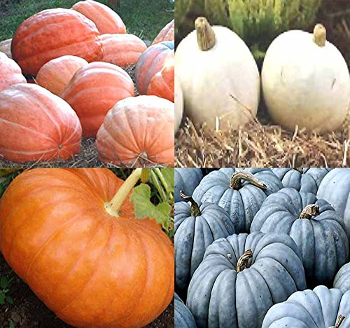 Big Pack (80-90+) Dill Atlantic Giant, Casper White, Cinderella Rouge VIF D'Etampes, Jarrahdale Blue Pumpkin Seeds - Non-GMO Seeds by MySeeds.Co (Big Pack - Pumpkin Mix II)