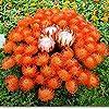 Pinkdose Fresh Rare Protea Cynaroides Bonsai Easy Planting Rare Bonsai Flower Bonsai Variety Completa 50 Bonsai/Pack Fresh Rare Flower: 6 #1