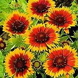 5ST Gaillardia Aristata'Kobold'   Kokardenblume Rot-Gelb   Lieferhöhe 10-15cm   Topfgrö?e Ø7cm
