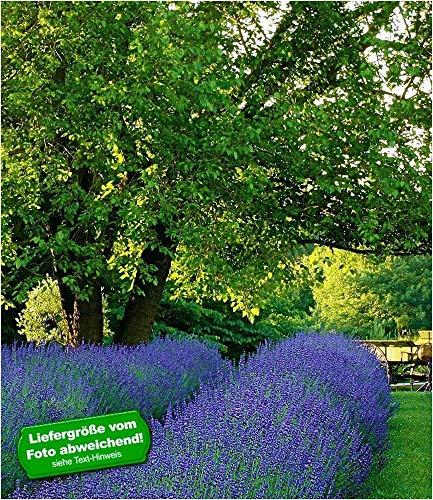 BALDUR-Garten Winterhart Lavendel...