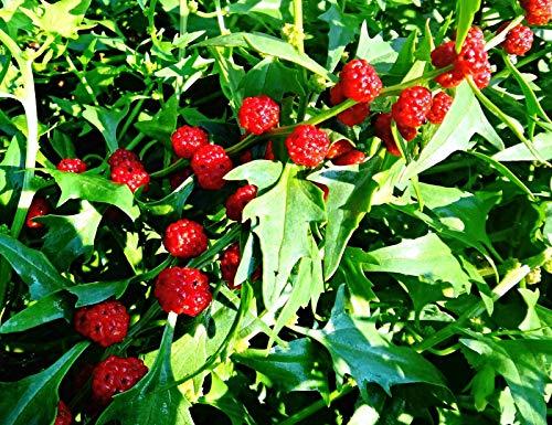 10.000 Erdbeerspinat Samen, Chenopodium capitatum, Strawberry spinach, alte Gemüsesorte