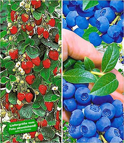 BALDUR Garten Beeren-Kollektion, 4 Pflanzen Klettererdbeere und Heidelbeere Reka