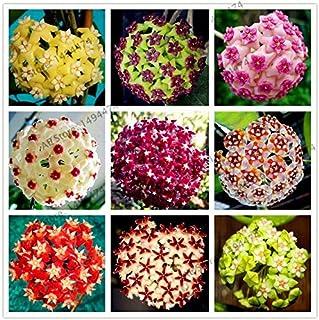 Portal Cool 16: Semillas 105pcs 24 del color Hoya carnosa raros de la flor plantas perennes Bonsai