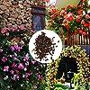 Cioler Seme di fiore- 100pcs Piante rampicanti del profumo Semi variopinti del fiore di Cress della roccia fiori ornamentali per Muro, casa, balcone, lungo la strada, giardino #4