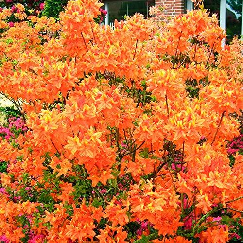 Qulista Samenhaus - Rarität Garten-Azalee Glowing Embers Orange reichblühend bis zu 2 Meter hoch, Blumensamen Bonsai winterhart mehrjährig für Garten/Balkon/Terrasse